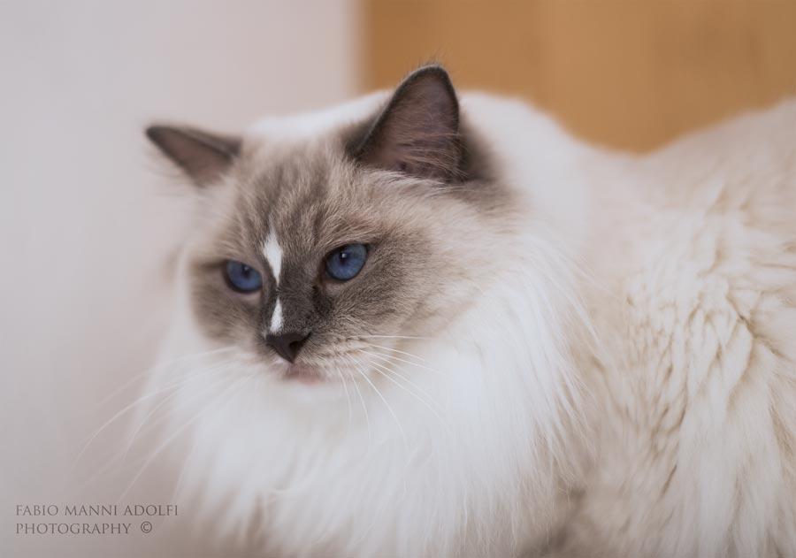 Gatte Ragdoll Femmine Holly - allevamento gatti Ragdoll in Toscana