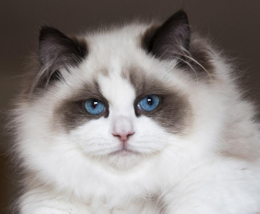 Gatte Ragdoll Maschi Neville - allevamento gatti Ragdoll in Toscana