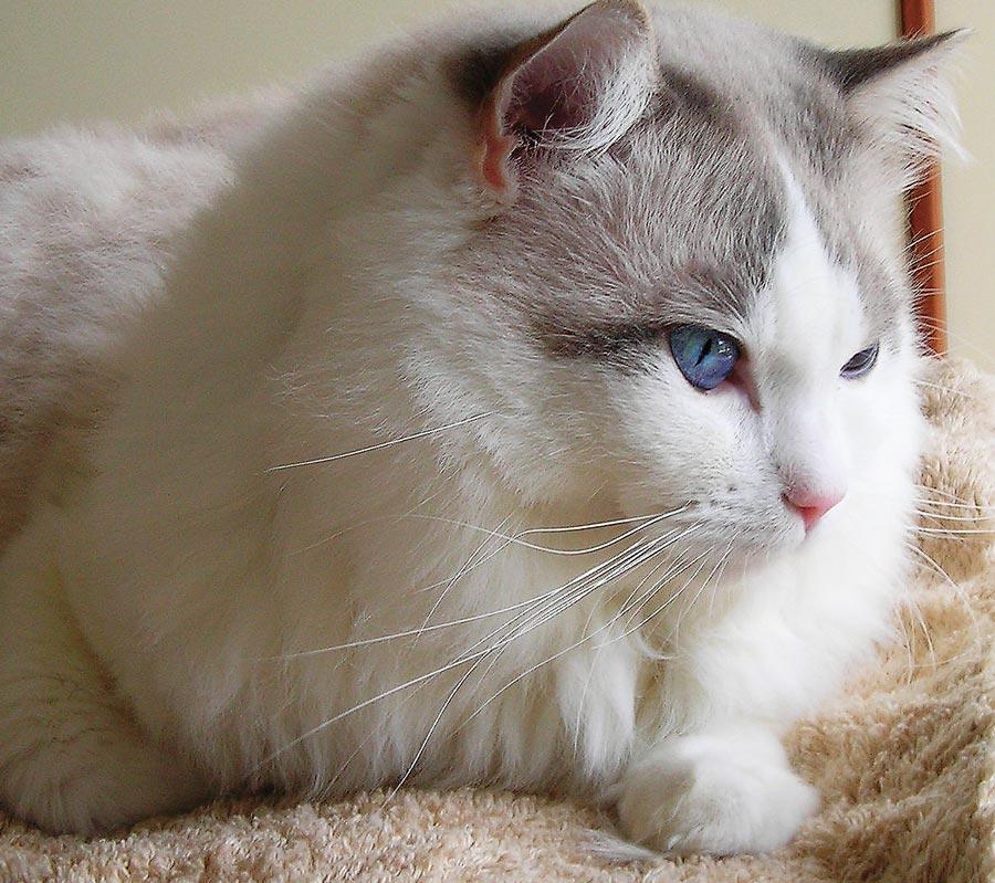 Gatte Ragdoll Maschi Orodnim - allevamento gatti Ragdoll in Toscana